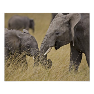 A African Elephant grazing in the fields of the Poster