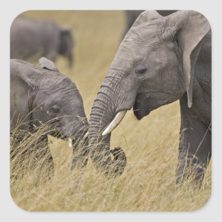 A African Elephant grazing in the fields of the Square Sticker