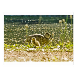 a baby duck with its mom postcard