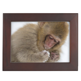 A baby Japanese Macaque (or snow monkey) Keepsake Box