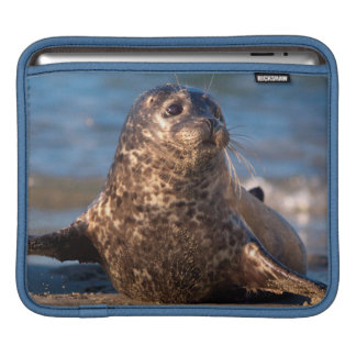 A baby seal coming ashore in Children's Pool iPad Sleeve