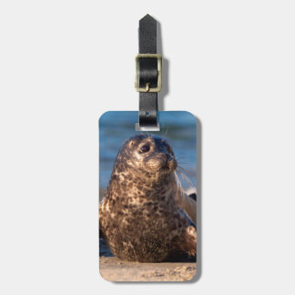 A baby seal coming ashore in Children's Pool Luggage Tag