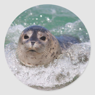 A baby seal surfing