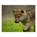 A baby wolf