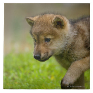 A baby wolf tile