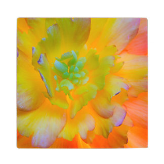 A back-lit, glowing begonia blossom wood coaster