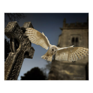 A Barn Owl (Tyto alba) in a graveyard in North Poster