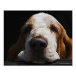 A Basset Hound resting his head Poster