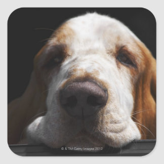 A Basset Hound resting his head Square Sticker