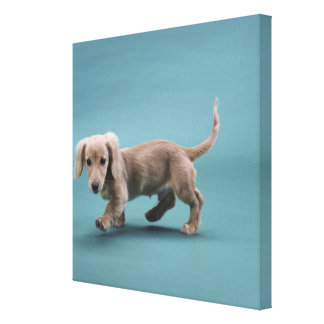 A beige small dachshund walking canvas print