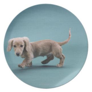 A beige small dachshund walking plate