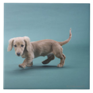 A beige small dachshund walking tile
