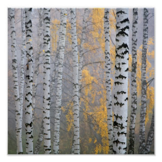 a birch grove in the haze fragment trunks. poster