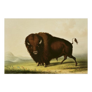 A Bison, c.1832 Poster