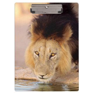 A Black Maned Lion at a waterhole Clipboard