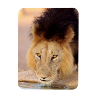 A Black Maned Lion at a waterhole Magnet