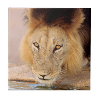A Black Maned Lion at a waterhole Tile
