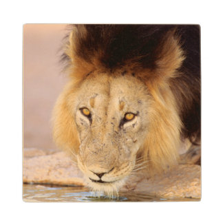 A Black Maned Lion at a waterhole Wood Coaster