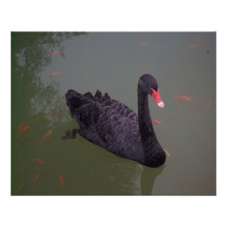 A black swan on the water poster