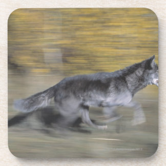 A black wolf on the run coaster