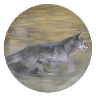 A black wolf on the run plate