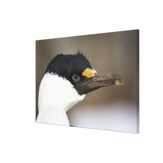 A blue-eyed shag in Antarctica Stretched Canvas Prints