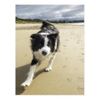 A Border Collie Dog Running On The Beach Postcard
