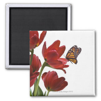 a bouquet of red tulips is visited by a monarch square magnet