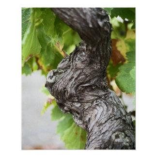 A branch of a very old vine with gnarled print
