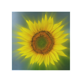 a bright sunflower wood print