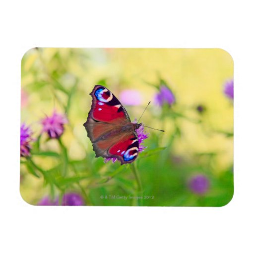 A brightly coloured Peacock butterfly is Rectangular Magnets