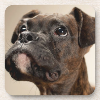 A Brindle Boxer puppy looking up curiously. Coasters