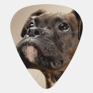 A Brindle Boxer puppy looking up curiously. Plectrum