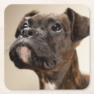 A Brindle Boxer puppy looking up curiously. Square Paper Coaster