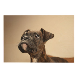 A Brindle Boxer puppy looking up curiously. Wood Canvas