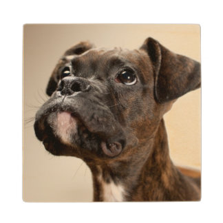 A Brindle Boxer puppy looking up curiously. Wood Coaster