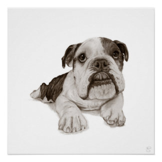 A Brindle Bulldog Puppy Drawing