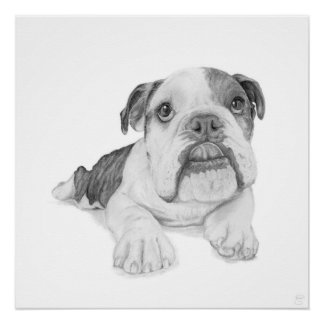 A Bulldog Puppy Drawing