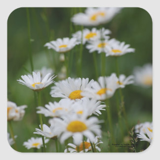 A bunch of Daisies. Square Sticker