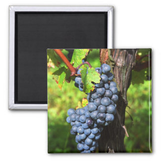 A bunch of grapes ripe merlot on a vine with magnet