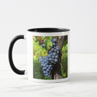 A bunch of grapes ripe merlot on a vine with mug