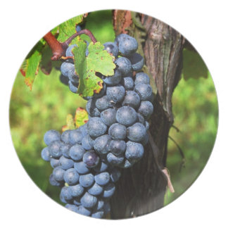 A bunch of grapes ripe merlot on a vine with plate
