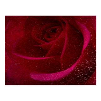 A Burgundy Rose in Snow Postcard