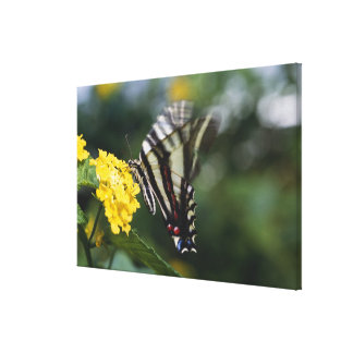 A butterfly, in the family of Swallowtails or Canvas Print