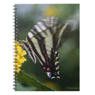 A butterfly, in the family of Swallowtails or Notebook