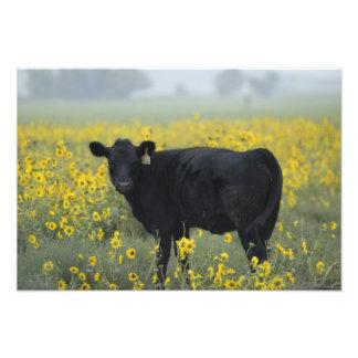 A calf amid the sunflowers of the Nebraska Photograph