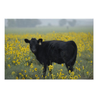A calf amid the sunflowers of the Nebraska Poster