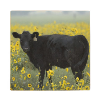 A calf amid the sunflowers of the Nebraska Wood Coaster