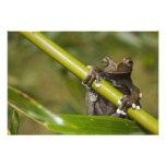 A captive Tapichalaca Tree Frog Hyloscirtus Photograph