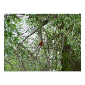 A Cardinal on a distant tree limb Poster
